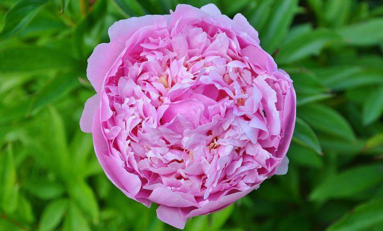 Met Bulgaarse roos makkelijker bevallen