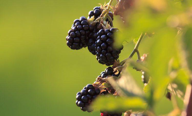Antioxidantkracht van bramen