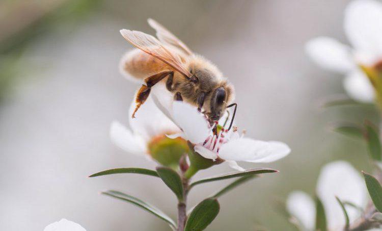 Honing bij resistente MRSA-ziekenhuisbacterie